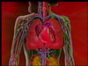 Your heart is only about as big as your fist; but, despite its small size, it is crucial to the efficient functioning of your body.  In fact, if it stopped doing its job, the result would be death.  Explore the key elements of the circulatory system--the heart, blood vessels, and blood--in this informative video.